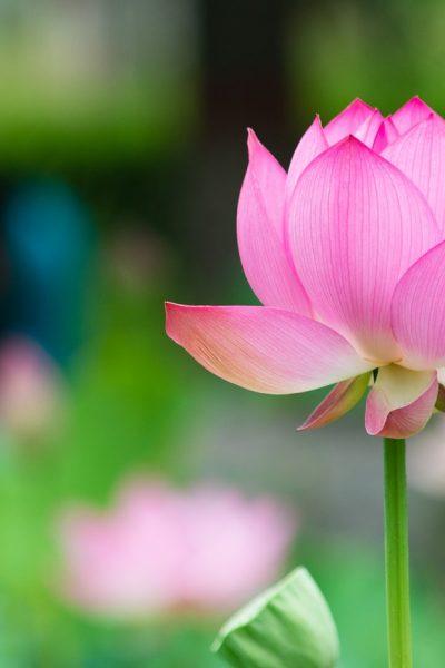 lotus-2366698_1280